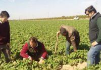 VÍDEO: Innovación en el cultivo de la patata en el valle del Guadalquivir