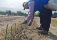 VÍDEO: Recolección del espárrago verde en Los Palacios, Sevilla