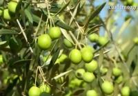 VÍDEO: Nueva IGP para las aceitunas Manzanilla y Gordal sevillanas