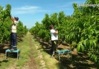 VÍDEO: Clareo del melocotón en la Vega del Guadalquivir