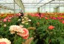 VÍDEO: Desastre en el sector de la flor cortada por el coronavirus